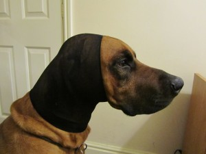 Keep the stocking on - prevent the dog flapping his ears to avoid re-opening the split ear tip