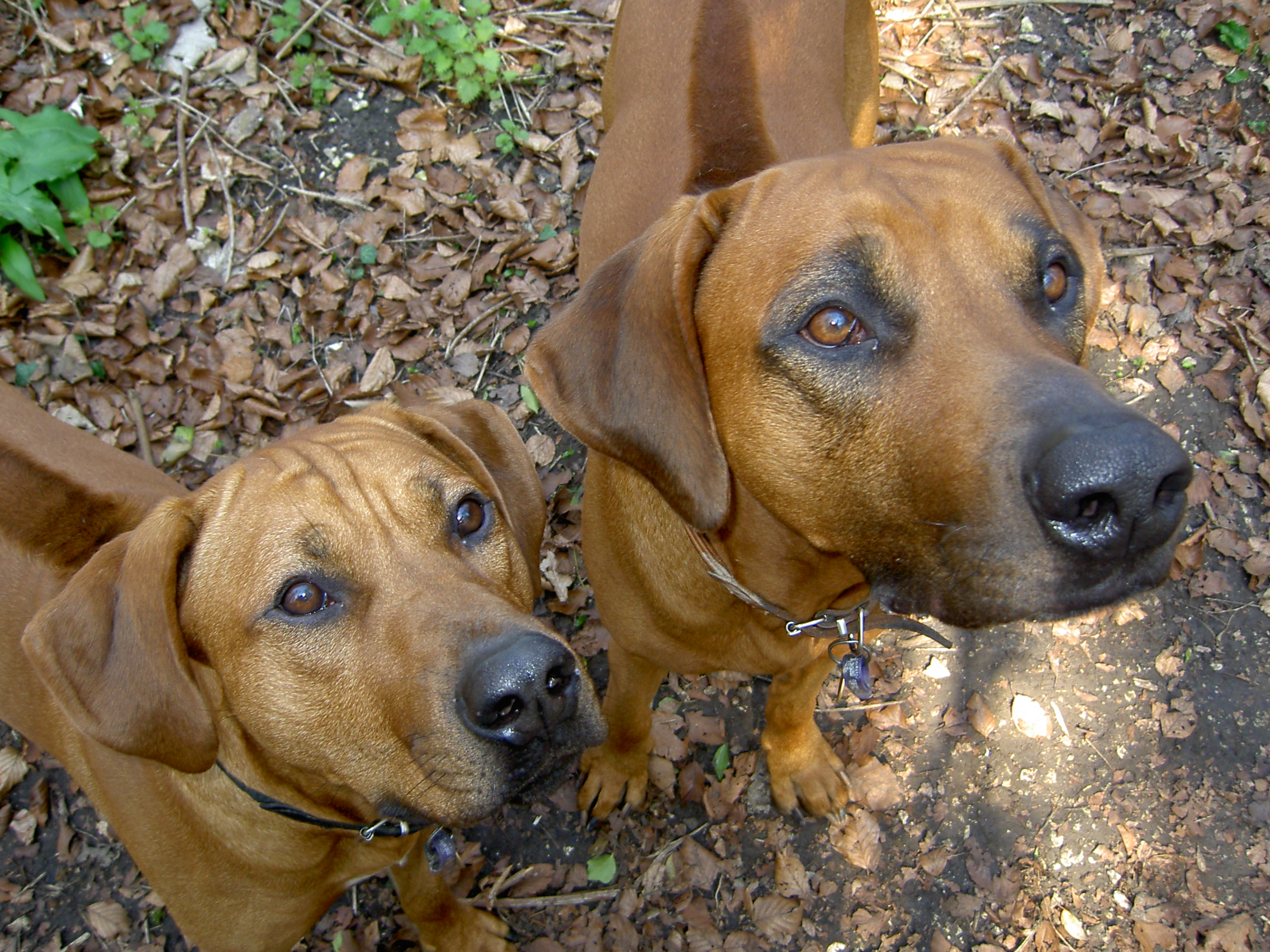 Two very healthy rhodesian ridgeback noses displaying no nasal discharge at all Axl aka Janak Jago of Metalrock and Rain aka Voorlooper Rude Not To of Metalrock