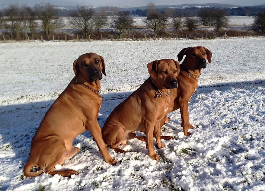 Metalrock Ridgebacks Axl, Rain & Chi - East Yorkshire, UK