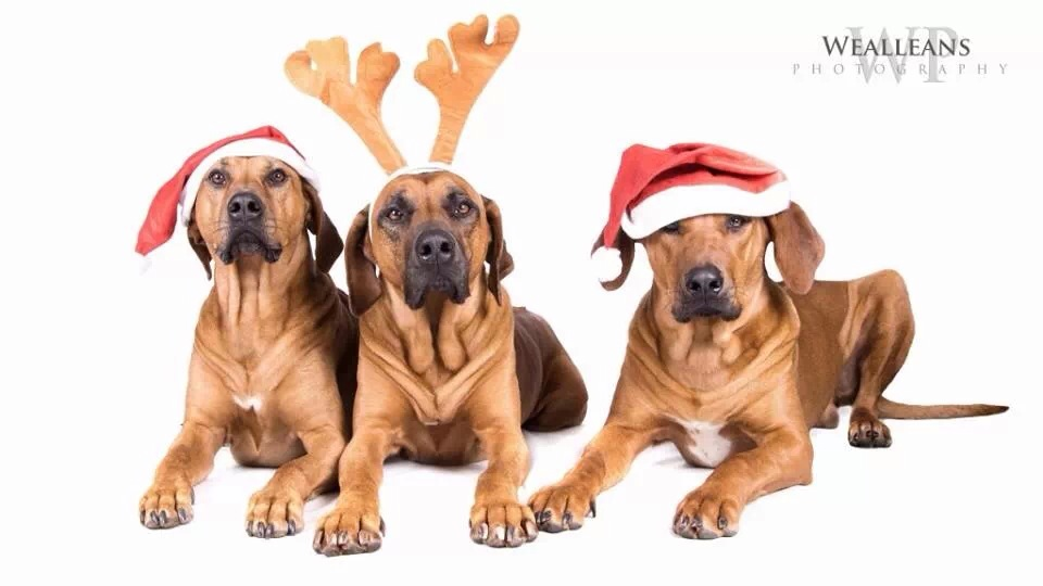 Merry Christmas from Metalrock Ridgebacks