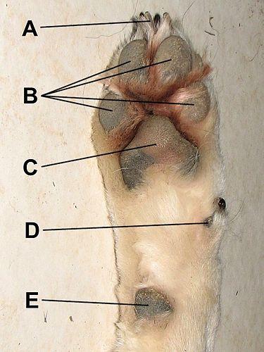 Canine Paw Pads